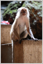 Monkey (backlit), Batu Caves.