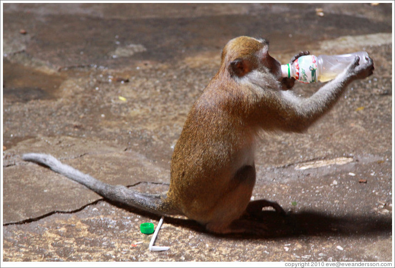 Monkey drinking from a bottle that he stole from a visitor and then unscrewed himself.  Batu Caves.