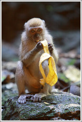 Monkey and banana, Batu Caves.