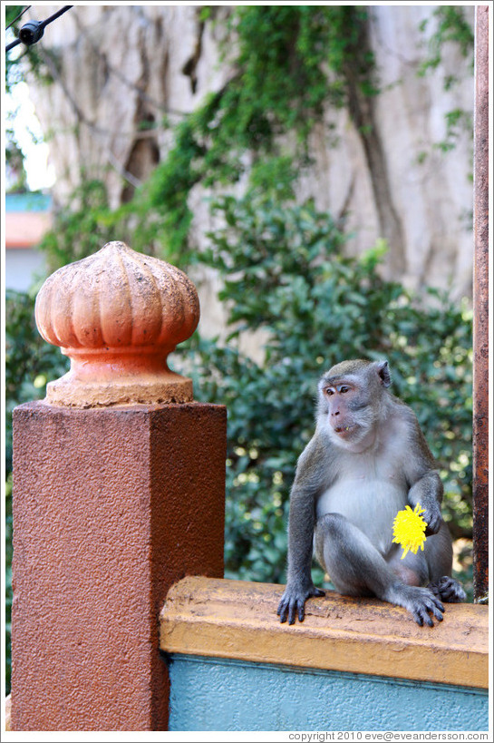 Monkey with flower, stairway, Batu Caves.
