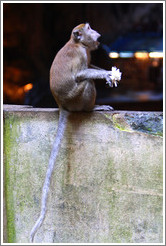 Monkey with flower, Batu Caves.
