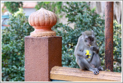 Monkey eating flower, stairway, Batu Caves.