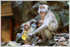 Monkey family, Batu Caves.