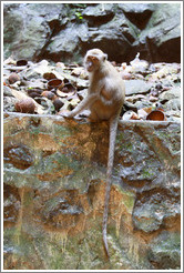 Monkey with tail hanging down, Batu Caves.
