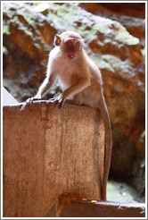 Monkey sticking out tongue, Batu Caves.