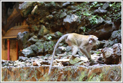 Monkey walking, Batu Caves.