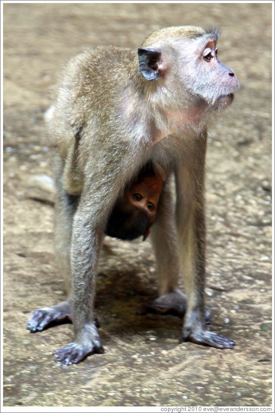 Mother and child monkeys, Batu Caves.