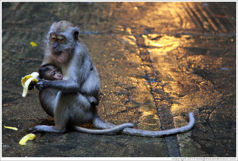 Mother and child monkeys with banana, Batu Caves.