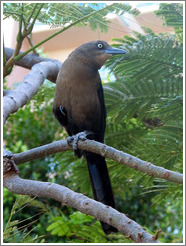 Bird.  Black with brown chest.