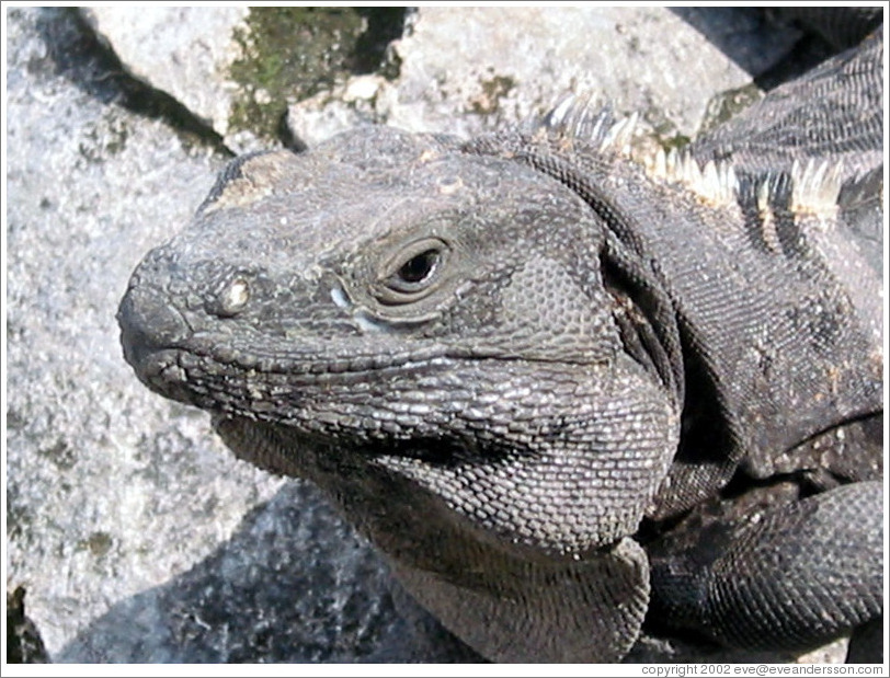 "The image ""http://www.eveandersson.com/photos/mexico/cancun/lizard-tulum-face-large.jpg"" cannot be displayed, because it contains errors."