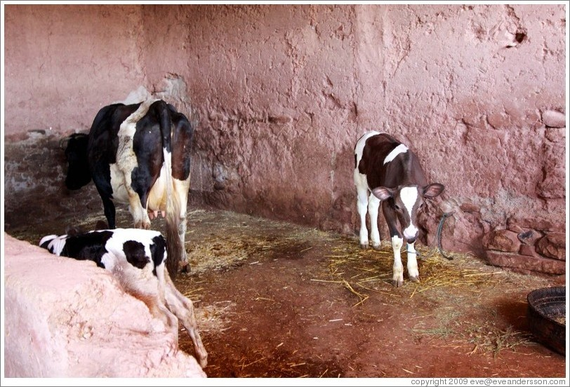 Cows inside a house belonging to a Berber family.