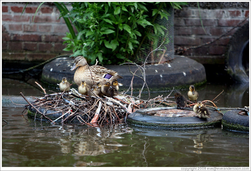 Duck with ducklings in nest built on tire.  Egelantiersgracht canal, Jordaan district.