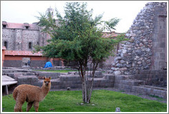 Kusi, a young alpaca, at Kusikancha, an Inca site in central Cusco.
