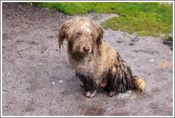 Wet and matted dog on the Inca Trail.