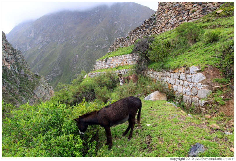 Donkeys at the side of the Inca Trail.