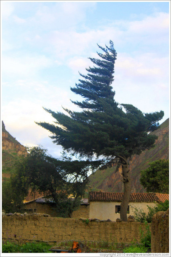 Tree, with a permanently wind-swept shape, Ollantaytambo Fortress.