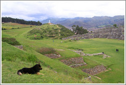 Dog overlooking Sacsayhuam�n ruins.