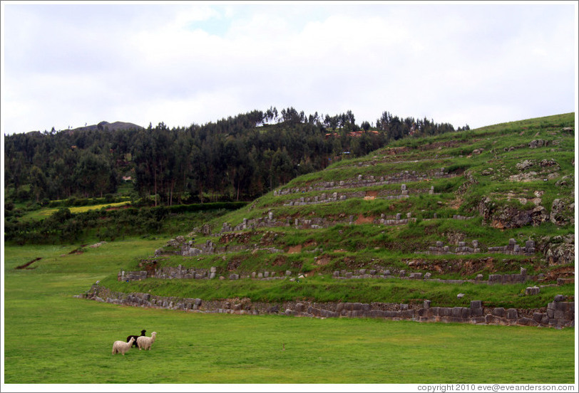 Llamas and an alpaca, Sacsayhuam?ruins.