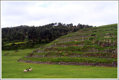 Llamas and an alpaca, Sacsayhuam�n ruins.