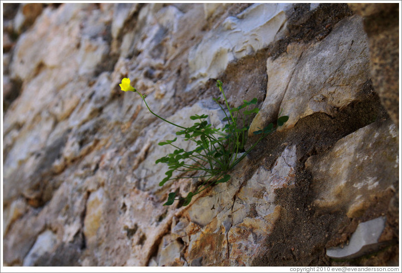 Yellow flower growing from the wall of the Tavira Castle.