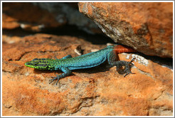 Sekukhune Flat Lizard.  These lizards are very rare, found only in a small region in South Africa.