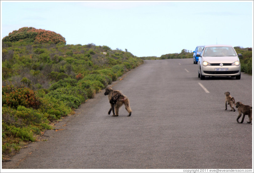 Baboons crossing the road.