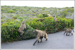 Baboons at the side of the road.