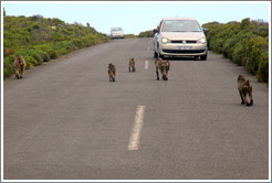 Baboons ambushing a car that had a window open.