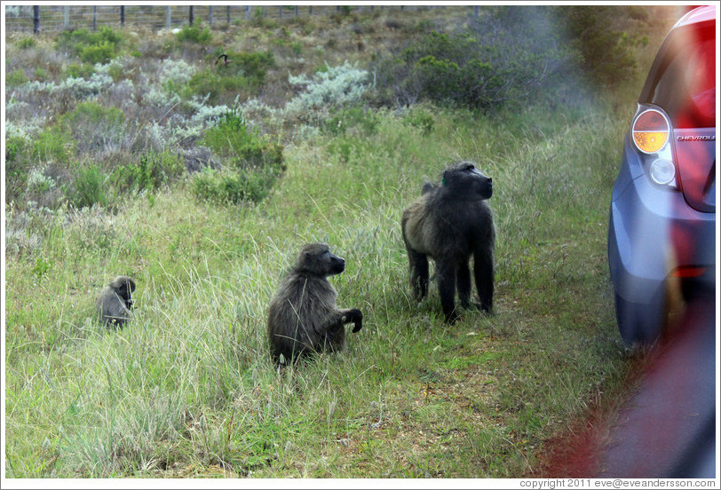 Baboons at the side of the road. Cape Point.
