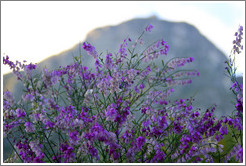 Purple Broom, Kirstenbosch Botanical Garden.