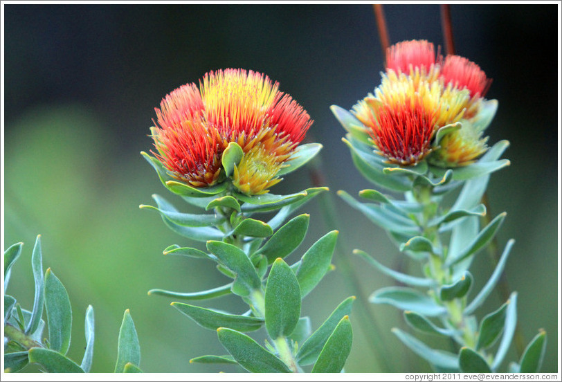 Tufted Pincushion Protea, Kirstenbosch Botanical Garden.