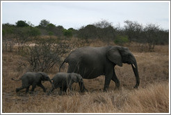Mother and baby elephants.  (Species: African elephant, Loxodonta africana)