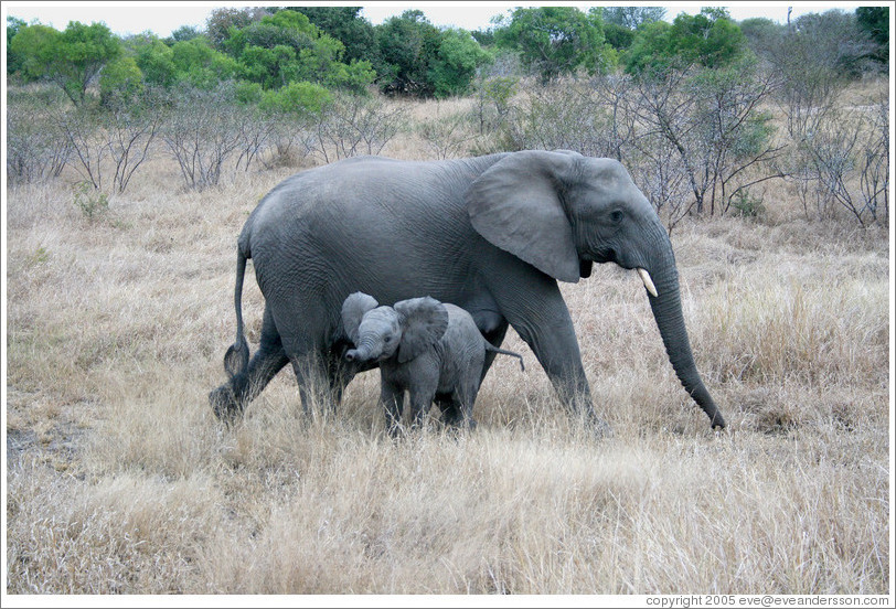 "Mother and baby elephants.  The baby is doing a ""mock charge"" -- the outspread ears and trunk are meant to look threatening.  (Species: African elephant, Loxodonta africana)"