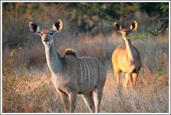 Kudu in the morning light.  (Species: Greater kudu, Tragelaphus stresiceros)