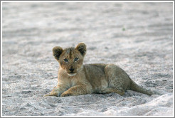 Lion cub in a dry riverbed.