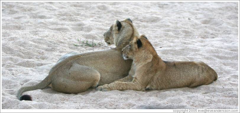 Lionesses in a dry riverbed.
