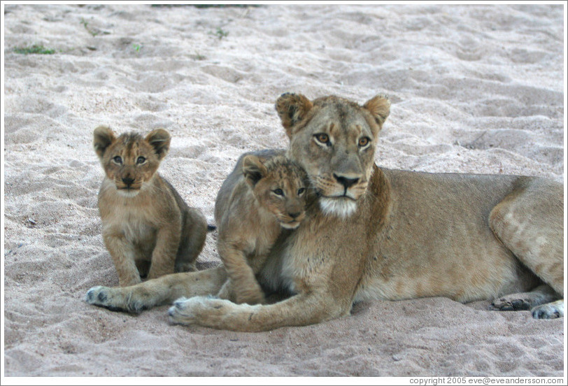 Lioness with lion cubs in a dry riverbed.