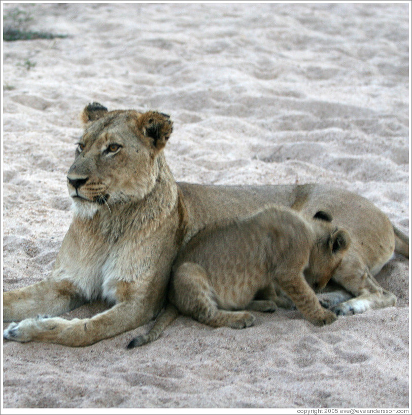 Lioness with lion cub in a dry riverbed.