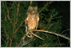 Spotted eagle owl.