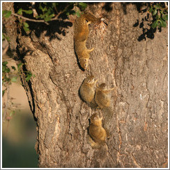 Tree squirrels, warming in the sun.