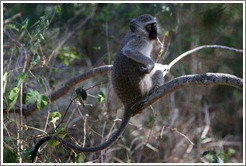Vervet monkey (Species: Cercopithecus aethiops)