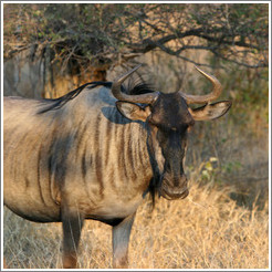 Wildebeast (Species: Connochaetes taurinus)
