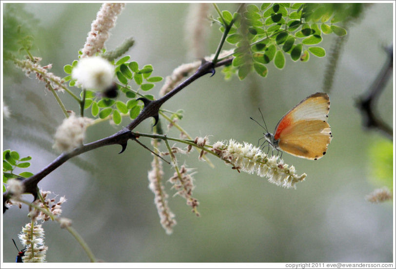 Beige and orange butterfly.