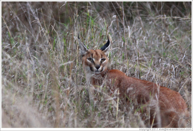 Caracal, an elusive lynx-like cat.