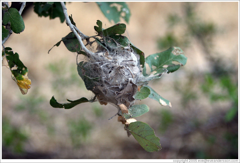 The nest of the Communal Nest Spider.