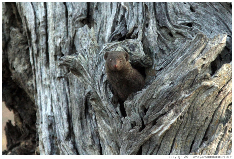 Dwarf mongoose, peeking out of a hole in a tree.