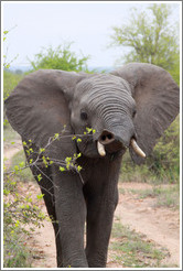 Elephant eating acacia leaves.