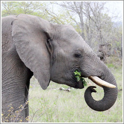 Elephant eating leaves.