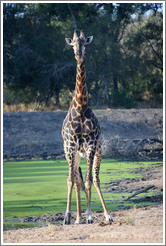 Giraffe by a watering hole.
