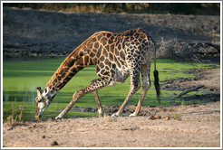 Giraffe drinking from a watering hole.